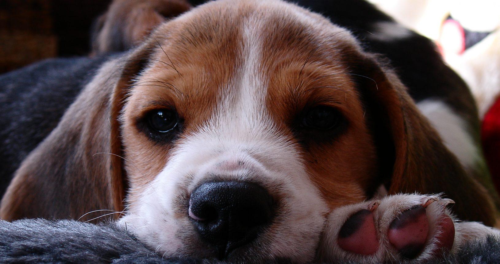 beagle kutsikad 138