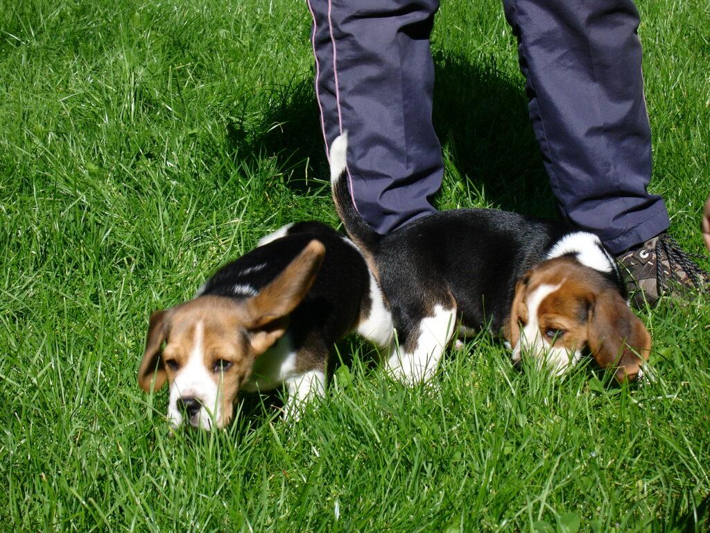 beagle kutsikad 040