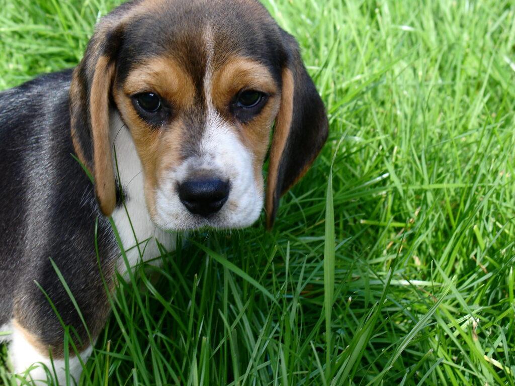 beagle kutsikad 046