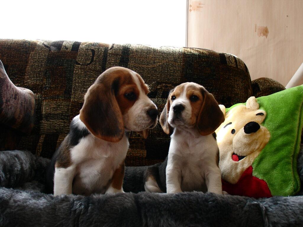 beagle kutsikad 062