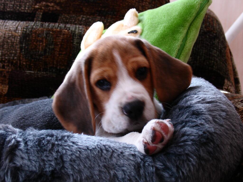 beagle kutsikad 069