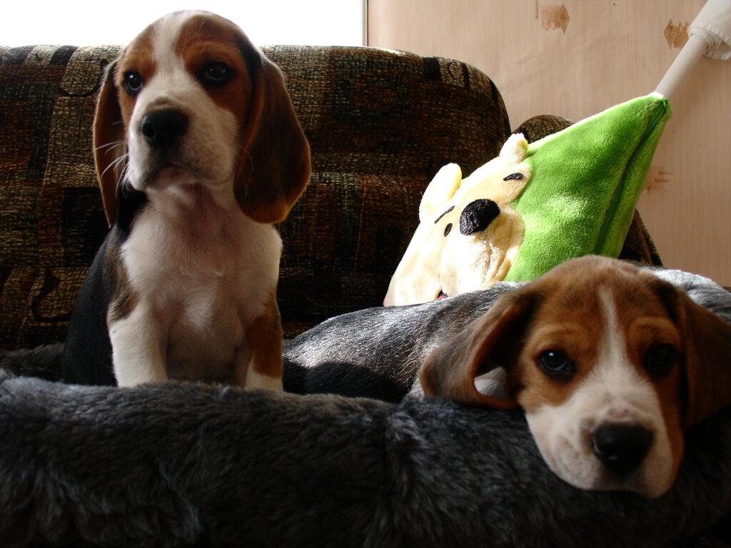 beagle kutsikad 174