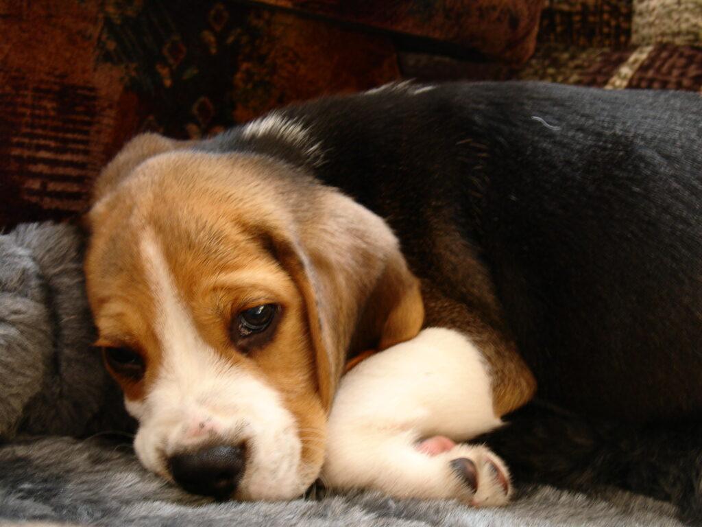 beagle kutsikad 195